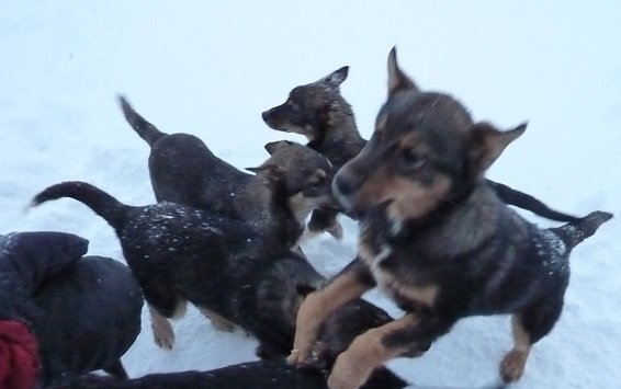 Puppy Power with husky puppies in tromso