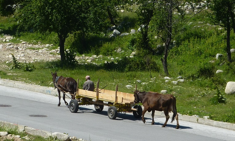 Local Bulgarian out walking the cow