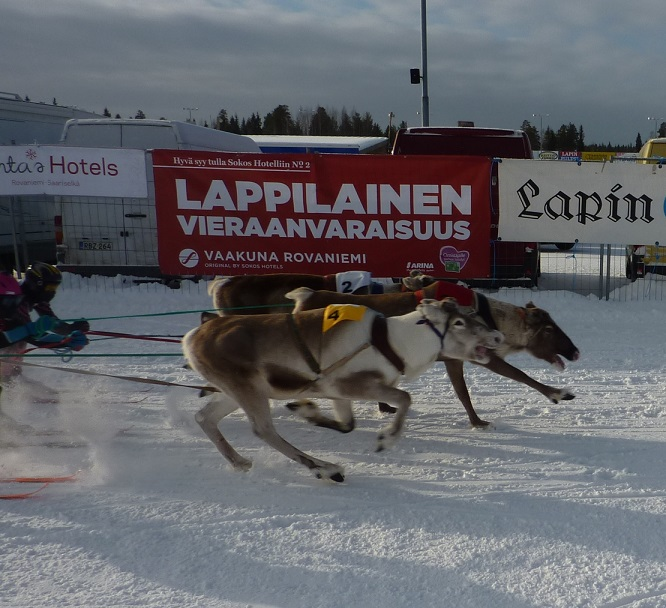 Reindeer racing Poro Cup kebab eating reindeer