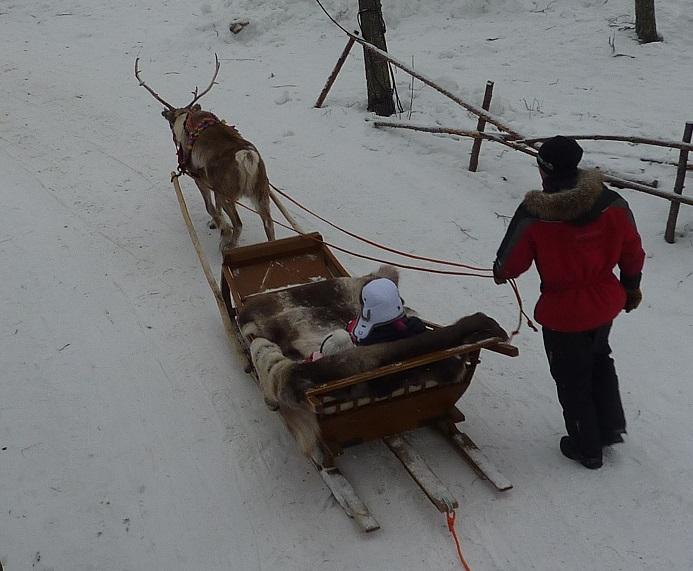 Reindeer taking tourists around prior to becoming kebabs